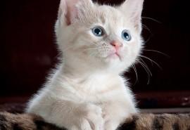 sennik Kot biały
