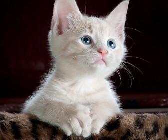 sennik Kot