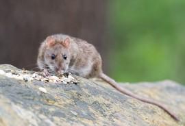 sennik Ogon szczura
