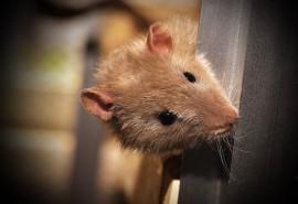 znaczenie snu Szczury w mieszkaniu