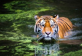 sennik Tygrys